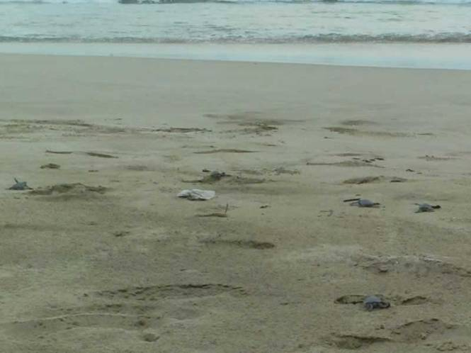 Penyu merambat menuju laut