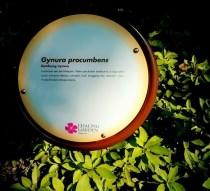 Gynura Procumbens