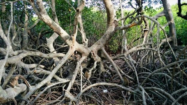 Kera-kera di hutan mangrove