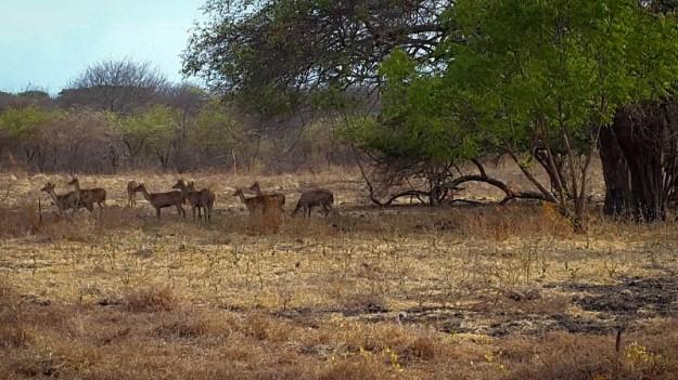 Kawanan rusa (foto oleh Putri)