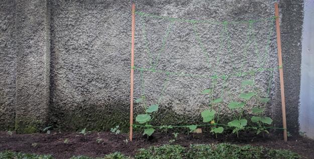 Lanjaran untuk tanaman mentimun